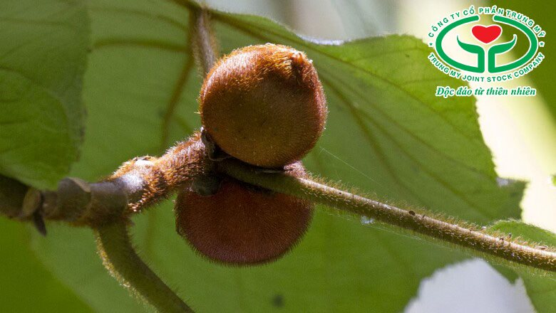 Quả óc chó đồng bằng (Ficus hirta Vahl)